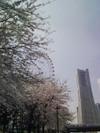 Sakura070401